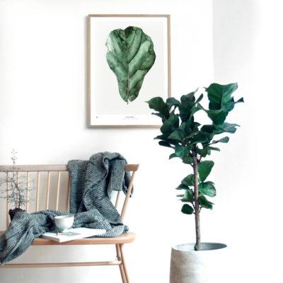 Lámina botánica - Ficus - hoja - plantas - greenery - Liderlamp (1)