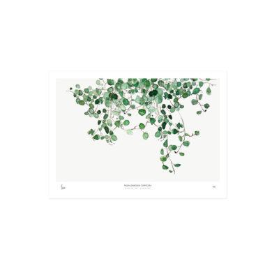 Lámina botánica - Meuhlenbeckia - enredadera - tendencia tropical - Liderlamp (1)