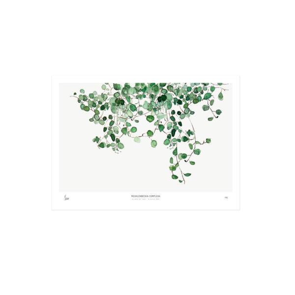 Lámina botánica – Meuhlenbeckia – enredadera – tendencia tropical – Liderlamp (2)