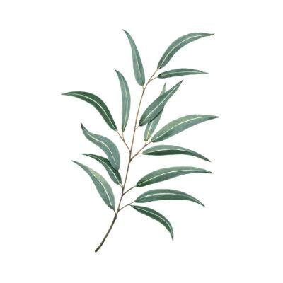 Lamina rama de eucalipto - botanica - Hermano Gato - ilustracion vegetal - Liderlamp